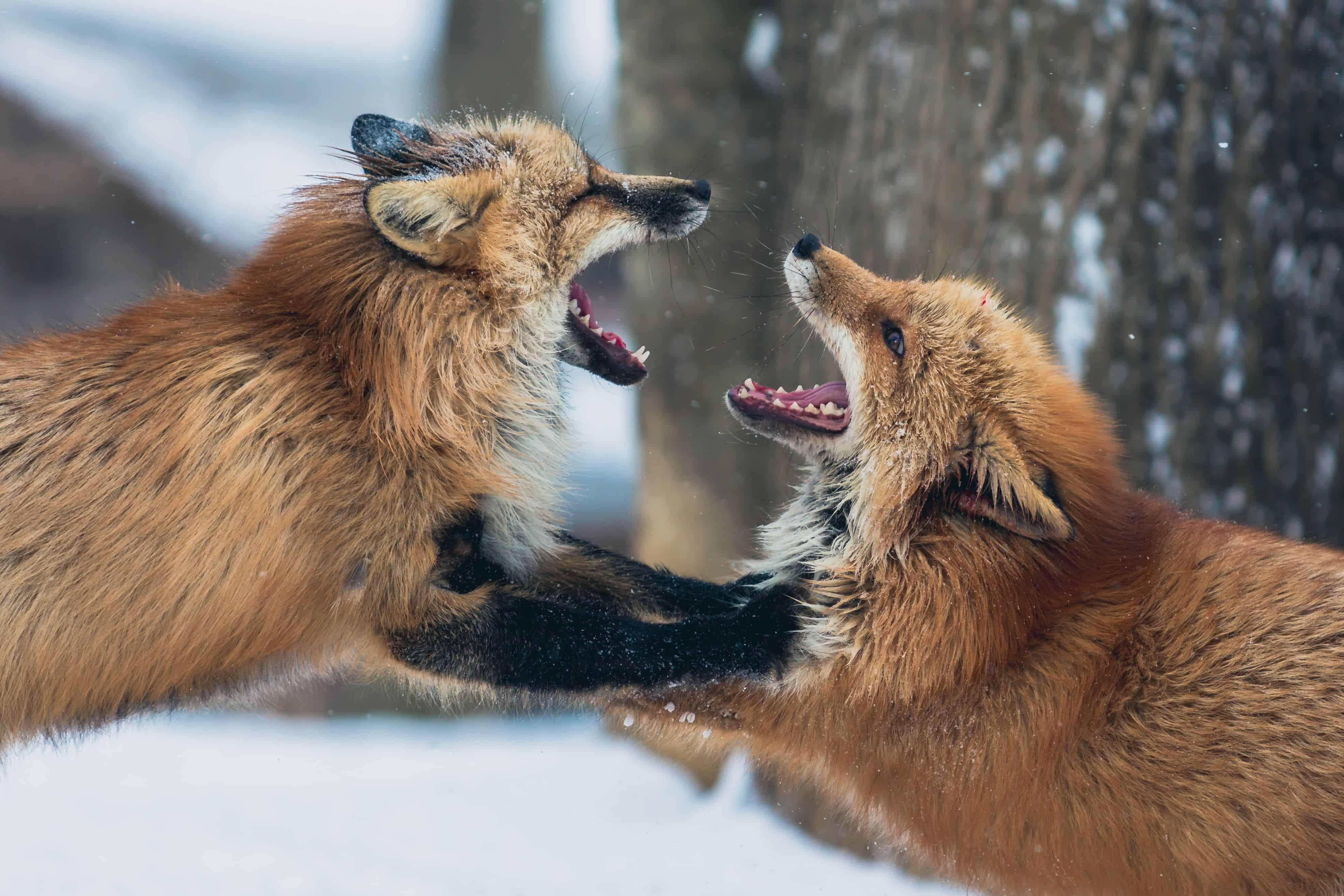kłótnia lisków