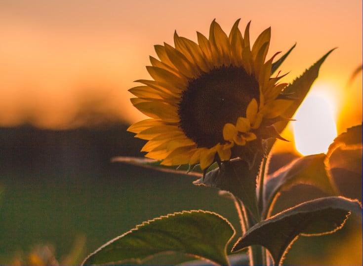 kwiat słonecznika zachód słońca